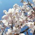 Крымск: персики – в цвету
